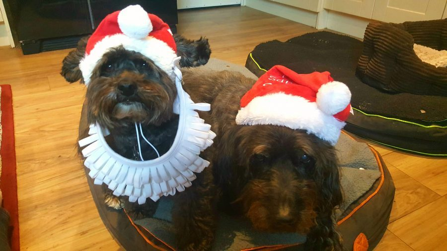 Photo of two dogs wearing santa hats